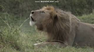 """Ranny Lew odpoczywa - świat zwierząt Afryki   ,, Safari """""""