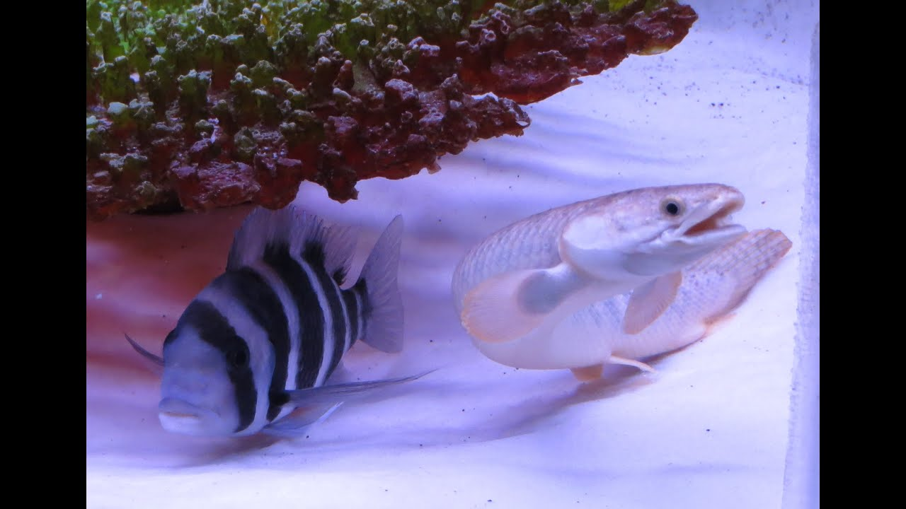 Frontosa Cichlid in 75 gallon fish tank aquarium set up by pnoy15