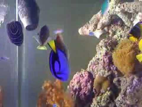 Reef tank triggerfish mating dance