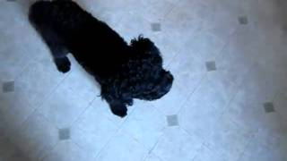 Friends Of Wilson The Dachshund: Meet Dexter The Poodle Mix