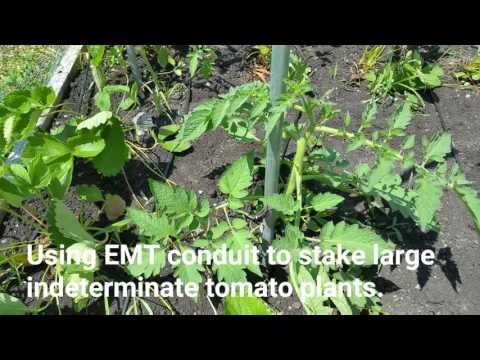 Using EMT conduit to stake large indeterminate tomato plants