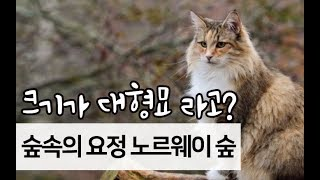 [고양이 소개] 노르웨이숲은 대형묘? 얼마나 클까?