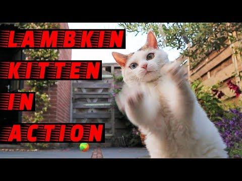 Lambkin Kitten in Action