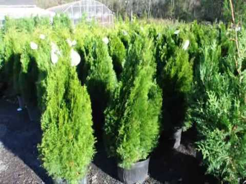 Best looking top quality norway spruce christmas trees in for Best looking christmas tree