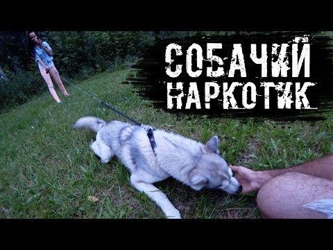 Видео, Хаски встречает хозяев. Оставили одну на 4 часа