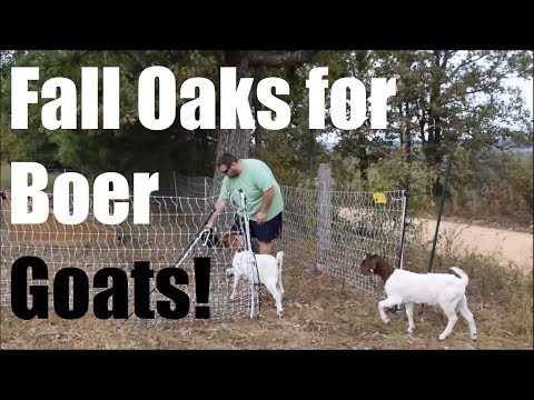 Rotating Boer Goats On Pasture In Tree Lines & More! Ep. 31