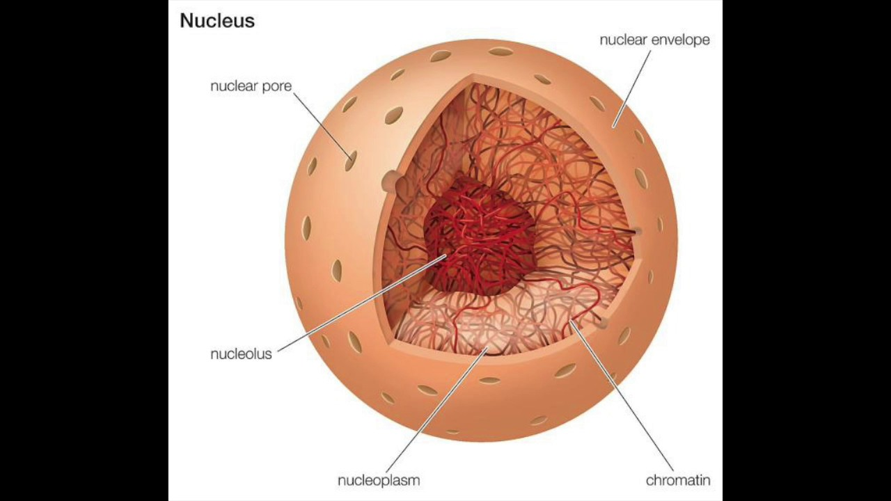 what is a nucleus? - youtube, Human Body
