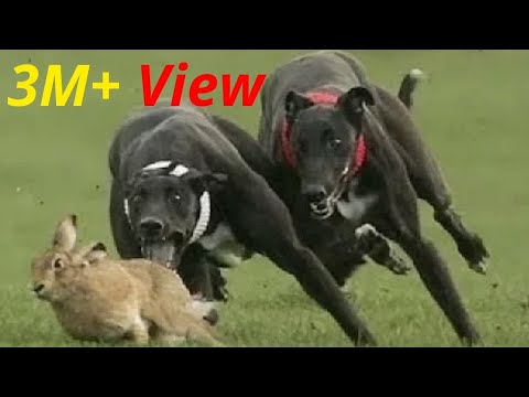 कुत्ता vs खरगोश शिकारी और शिकार ऐसी जंग नहीं देखी होगी आपने Life In Danger