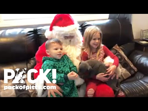 Pitbull Puppy Christmas Surprise Makes Mommy Cry