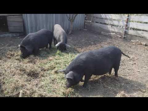 Свинки  Кармал для размножения отдам живым весом