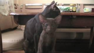 конор и мама кошка cat havana brown oriental