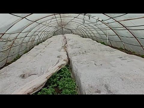Ранняя картошка в теплице /как выращивать раннюю картошку / месяц после висадки