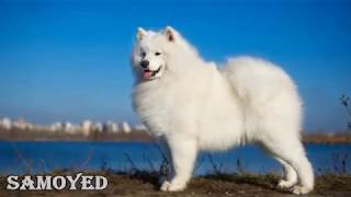 Top 10 Most Expensive Dog Breeds in the World 🐕