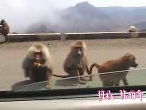 Eritrea The Land Of Baboons ኣህባይ አብ ከባቢ መንጉዳ