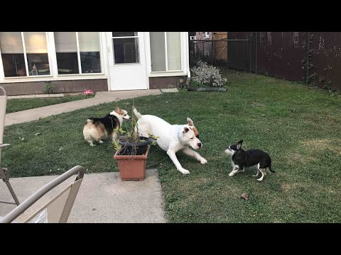 Corgi herds American Bulldog away from Chihuahua! First meeting.