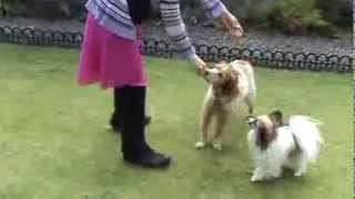 Leo (Papillon), Toby (Brittany Spaniel) and Fran HTM Sept 2013 video comp Pairs - Top of the World