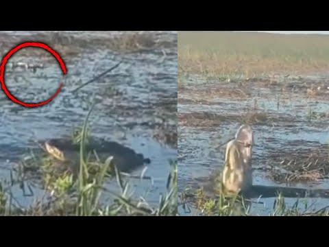 Gator Eats Drone