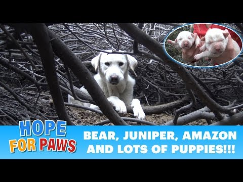 Homeless Labrador mom tried to trick us, but we found all her puppies!!!.