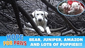 Homeless Labrador mom tried to trick us, but we found all her puppies!!!Please share.