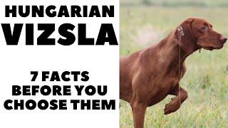 Before you buy a dog  HUNGARIAN VIZSLA  7 facts to consider! DogCastTV