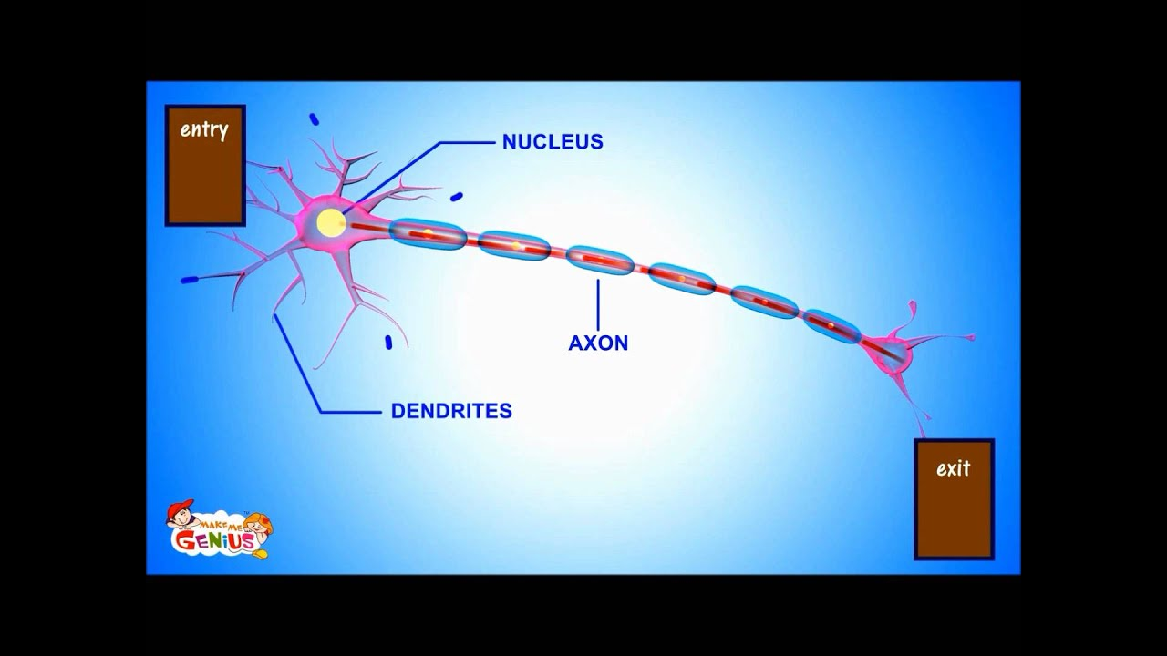 Neurons Cells Are Nerve