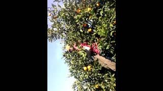 Cuadriya de juan piscando naranjas thumbnail