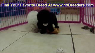 Toy Poodle, Puppies For Sale, In, Nashville, Tennessee, Tn, County, 19breeders, Knoxville, Smith