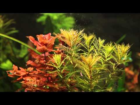 Rotala macrandra + Proserpinaca palustris
