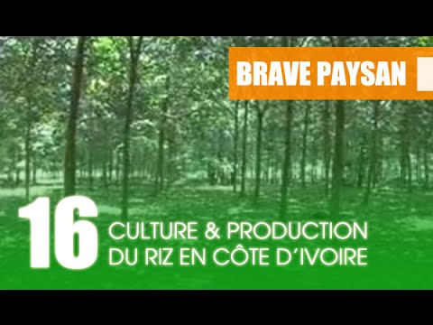 BRAVE PAYSAN / Culture & Production du Riz en Côte d'Ivoire