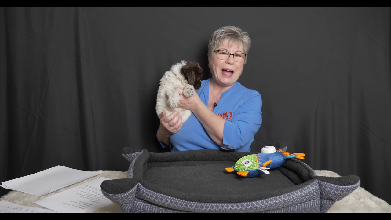 See adorable labradoodle puppies allocation video