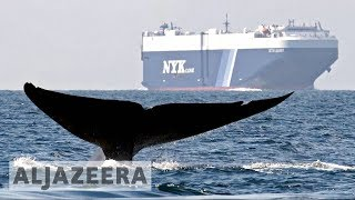 US scientists to protect whales 🐋 from ship collisions