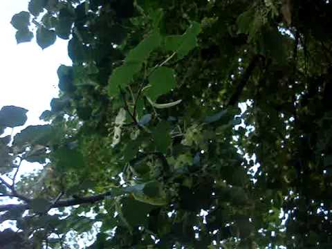 картинки дерево липа