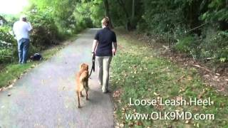 Golden Retriever Puppy; Obedience Training Off Leash K9 Training, Maryland