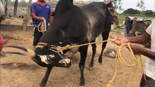 Hallikar Jallikattu bull of Chinnabaiyya at Bukkasandram