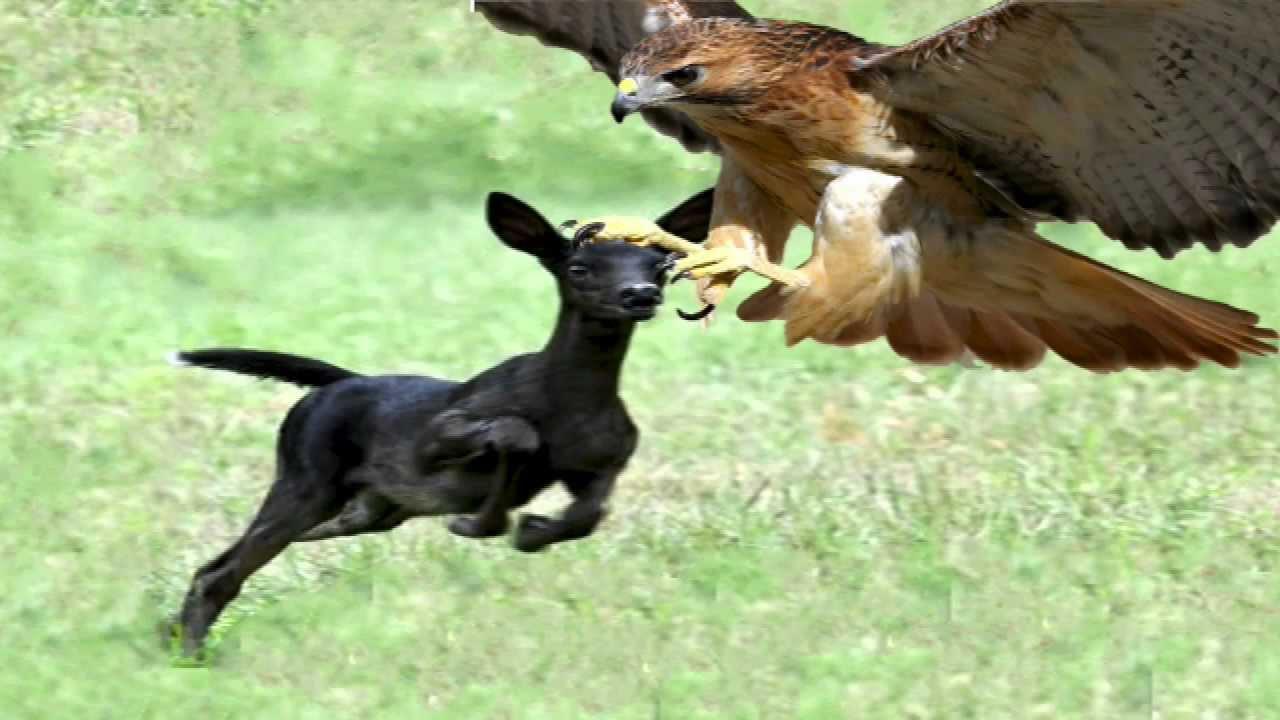 Bald Eagle Small Dog