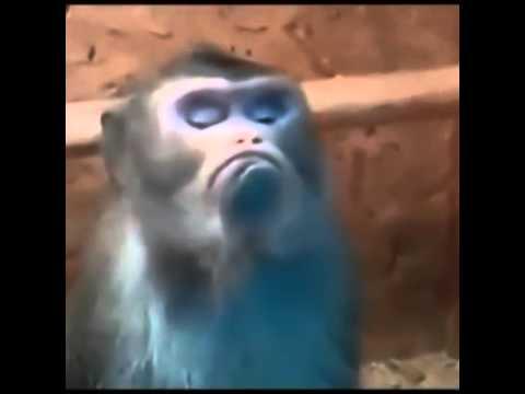 обезьяна показывает язык картинки