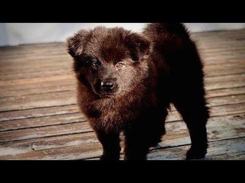 60 Seconds Of Cute Swedish Lapphund Puppies!