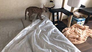 Что пума и три кота делают с квартирой за ночь