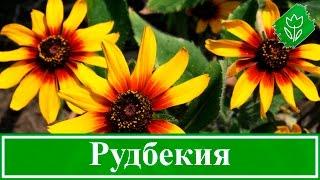 видео Цветы гелениум: фото сортов гибридный и осенний, посадка и уход при выращивании из семян