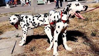 Сладкая парочка. Щенки Далматина. 💖 Sweet couple. Puppies Dalmatian.
