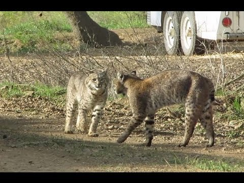 These Bobcats Are About to Have Sex in the Wild...