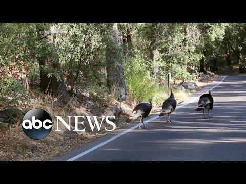 Wild turkeys take over neighborhoods