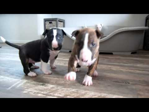 Bull Terrier puppy 4 weeks old goes crazy for the camera.