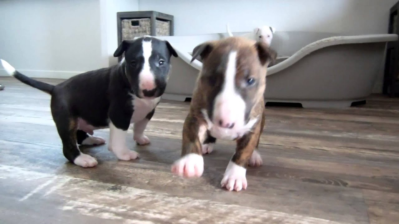 Bull Terrier Puppy 4 Weeks Old Goes Crazy For The Camera