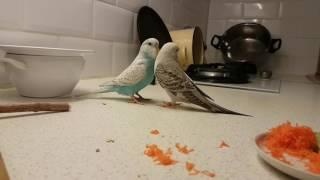 Попугаи Чехи(1)