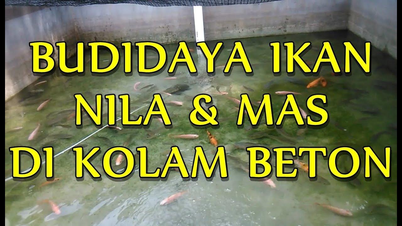Budidaya Ikan Patin Di Kolam Beton - InfoAkuakultur.com
