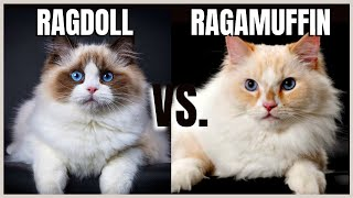 Ragdoll Cat VS. Ragamuffin Cat