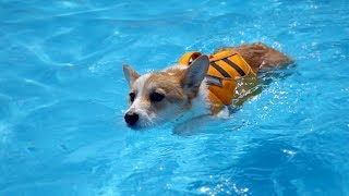 ENG SUB _ My Dog Swims for the First Time Ever