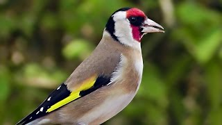 Relaxing Birds and Goldfinch Bird Song - Goldfinches Singing For Woodland Wilf