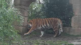 Zoo Hannover - Eisbär Sprinter und Tigerin Alexa